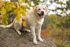 Бледный и желтый labrador Стоковые Фото