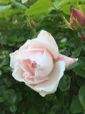Бледный - розовый взбираясь розовый цветок Стоковая Фотография RF