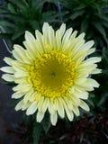 Бледный солнцецвет Стоковые Фотографии RF