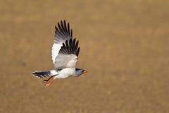 Бледный ястреб-тетеревятник Chanting в полете Стоковая Фотография