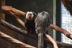 Бледн-лицая обезьяна Saki (pithecia Pithecia) Стоковые Изображения RF