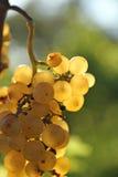 близкая виноградина группы вверх по белизне Стоковые Фотографии RF