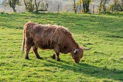 близкая гористая местность коровы вверх Стоковая Фотография