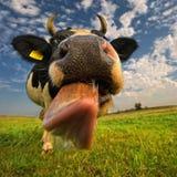 близкая головка s коровы вверх Корова вставляет вне свой язык Стоковое Изображение RF