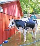 близкая головка s молокозавода коровы вверх Стоковые Фотографии RF