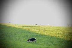 близкая головка s молокозавода коровы вверх Стоковые Изображения