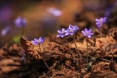 Близкая деталь малого фиолетового цветка весны стоковые фотографии rf