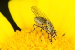 близкая муха вверх Стоковые Изображения RF
