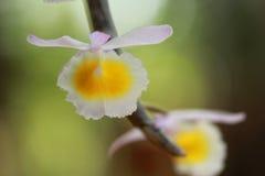 близкая орхидея вверх Стоковое фото RF