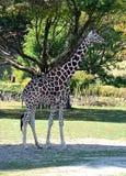 близкая природа головки giraffe вверх Стоковая Фотография RF