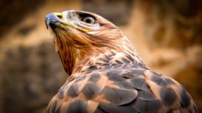 близкая стойка головки орла стоя вверх Стоковые Фото