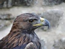 близкая стойка головки орла стоя вверх стоковые изображения