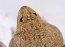 близкая лягушка вверх Стоковые Изображения RF