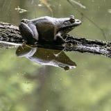 близкая лягушка вверх Стоковая Фотография RF