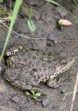 близкая лягушка вверх Стоковое Фото