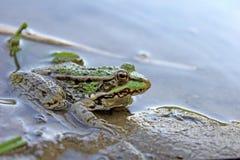 близкая лягушка вверх Стоковая Фотография