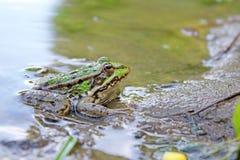 близкая лягушка вверх Стоковое Изображение RF