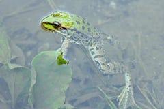 близкая лягушка вверх Стоковые Фотографии RF