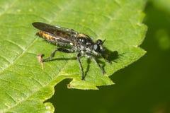 близкие весьма насекомые мухы другой разбойник хищника вверх Стоковое Фото