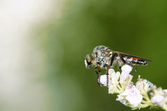 близкие весьма насекомые мухы другой разбойник хищника вверх Стоковое Изображение RF