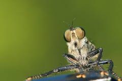 близкие весьма насекомые мухы другой разбойник хищника вверх Стоковые Изображения