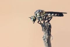 близкие весьма насекомые мухы другой разбойник хищника вверх Стоковые Фотографии RF
