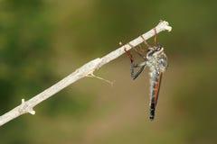 близкие весьма насекомые мухы другой разбойник хищника вверх Стоковое фото RF
