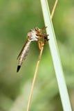 близкие весьма насекомые мухы другой разбойник хищника вверх Стоковое Изображение