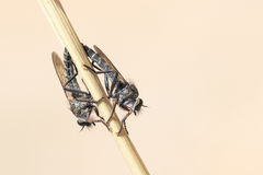 близкие весьма насекомые мухы другой разбойник хищника вверх Стоковая Фотография RF