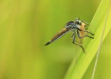 близкие весьма насекомые мухы другой разбойник хищника вверх Стоковые Фото