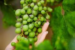 близкие виноградины зеленеют вверх по винограднику Стоковая Фотография RF