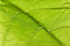 близкие зеленые горизонтальные листья вверх по венам Стоковое Изображение