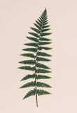близкие листья папоротника вверх Стоковые Фото