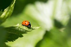 близкие листья ladybug вверх Стоковая Фотография