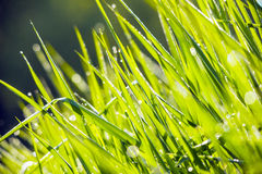 близкие капельки росы засевают вода травой утра листьев совершенная поднимающая вверх стоковая фотография rf