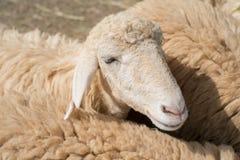 близкие овцы стороны вверх Стоковое Изображение