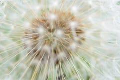 близкие семена одуванчика вверх Стоковое Изображение RF