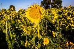 близкие солнцецветы фото поля поднимают желтый цвет стоковое изображение