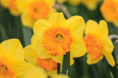 близкие narcissus поднимают желтый цвет стоковые фото