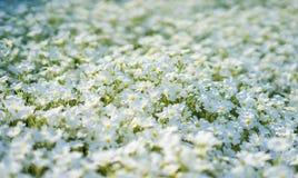 Близкий взгляд изумляя белых цветков на поле Стоковое фото RF