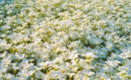 Близкий взгляд изумляя белых цветков на поле Стоковое Фото