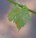 Близкий взгляд лист лозы Стоковое Изображение RF