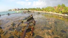 Близкий взгляд крабов идя на утесы на взморье в Шри-Ланке видеоматериал