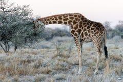 Близкий взгляд намибийского жирафа есть листья на саванне Стоковое Изображение RF