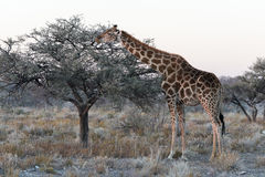 Близкий взгляд намибийского жирафа есть тонкие листья на саванне Стоковая Фотография