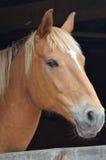 Близкий взгляд лошади каштана Стоковые Изображения RF