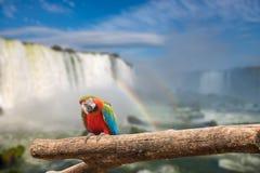Близкий взгляд попугая ары на водопадах Cataratas Стоковое Изображение