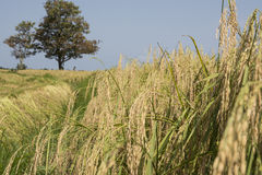 Близкий взгляд поля риса зреть Стоковые Изображения RF
