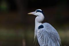 Близкий взгляд серой птицы цапли Стоковая Фотография RF