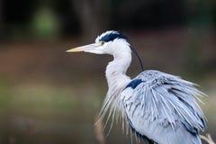 Близкий взгляд серой птицы цапли Стоковая Фотография